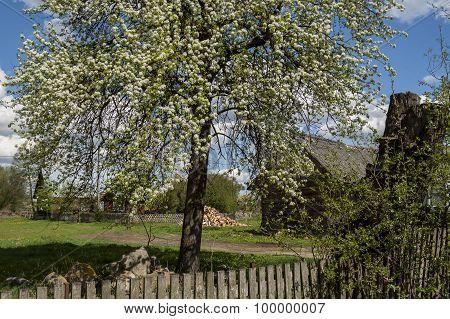 Pear during flowering.
