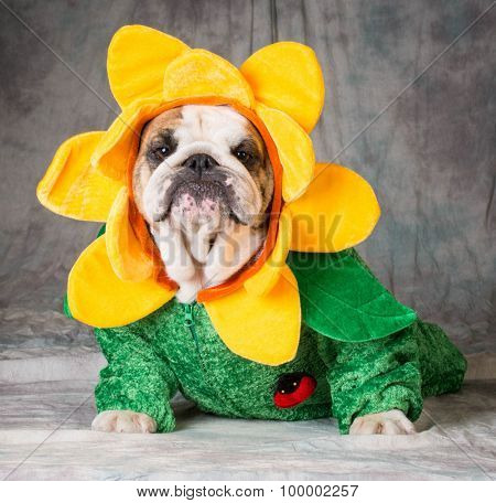bulldog wearing a flower costume