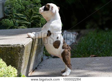 teaching a bulldog puppy how to climb stairs