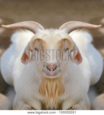 White Goat In Straight Face.