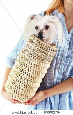 Woman holding wicker bag with Chinese Crested dog, closeup