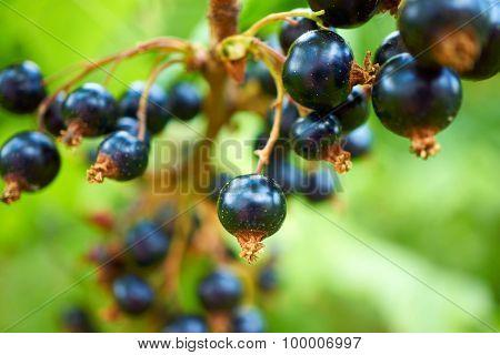 Ripe Black Currants