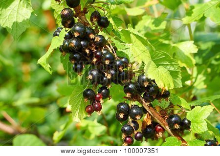 Branch With Ripe Currants