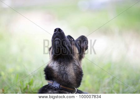 german shepard dog look ahead