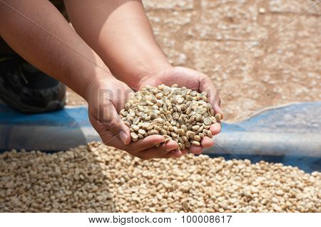 Dry Coffee Beans In Farmer Hand At Plantation On Pha Hi Mountrain, Chiangrai Thailand