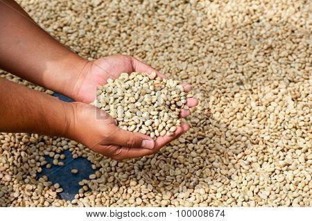 Dry Coffee Beans In Farmer Hand At Plantation On Pha Hi Mountrain, Chiangrai Thailand
