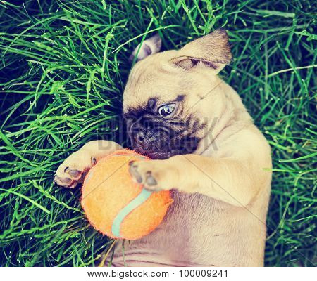 a cute baby pug chihuahua mix puppy playing with an orange tennis ball in the grassy clover during summer  toned with a retro vintage instagram filter app or action effect