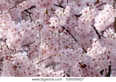 Sakura Flower Or Cherry Blossoms.