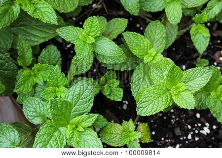Mint plant growing in home garden