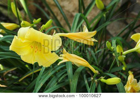 Lilly Flower spring bloom