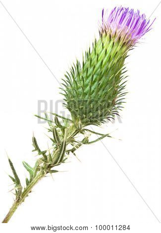 Burdock Blooming Bud Isolated on White Background