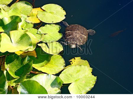 A Tortoise Swimming In A Pond