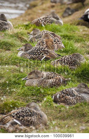 Female Common Eider Birds Nesting