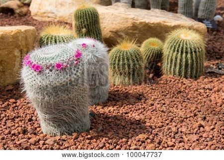 Beautiful Small Cactus And Flower Blooming In The Garden