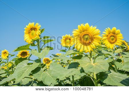 Close Up Sun Flower In The Farm