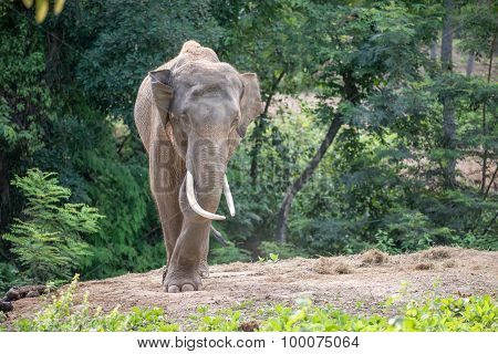 Asia Elephent Tether With Chain