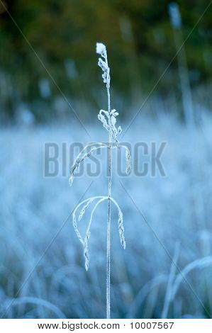 Frozen plant