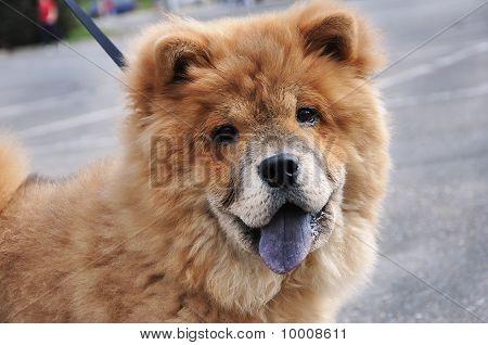 Innocent Happy Chaw Chaw Dog