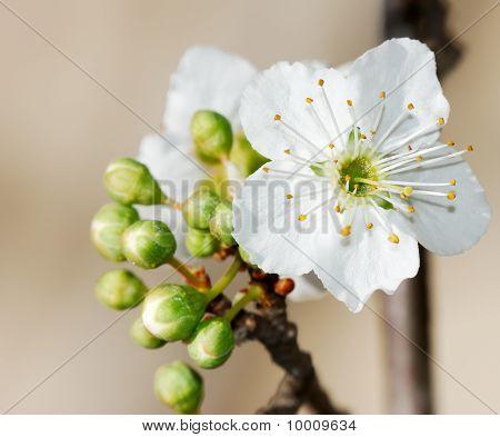 Prunus Flowers