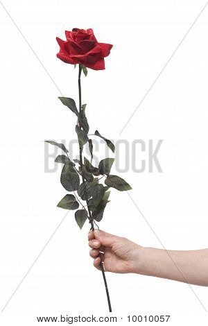 hand holding a red rose isolated on white background