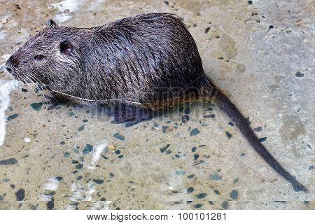 Cute Wild Furry Coypu Rat.
