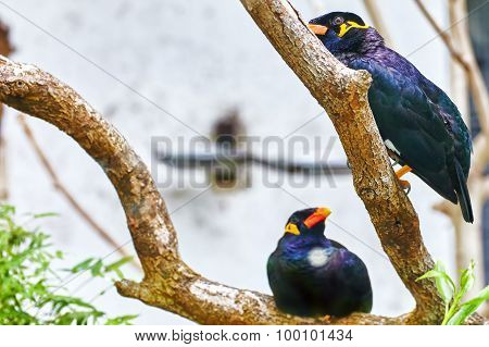 Grackle Sitting On The Branch.