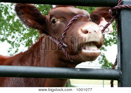 Dark Brown Calf