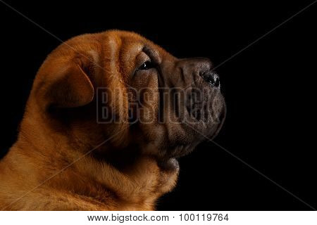 Closeup Funny Sharpei Puppy In Profile Isolated On Black