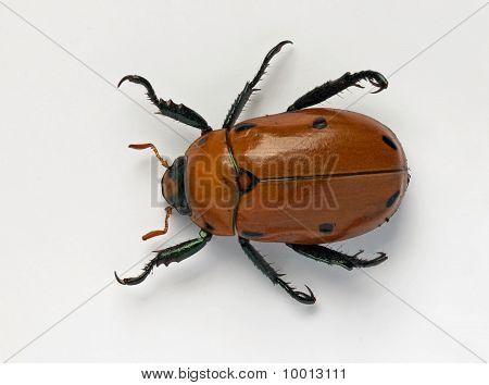 Masked Chafer Beetle