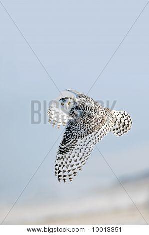 Winter White Snowy Owls In-flight