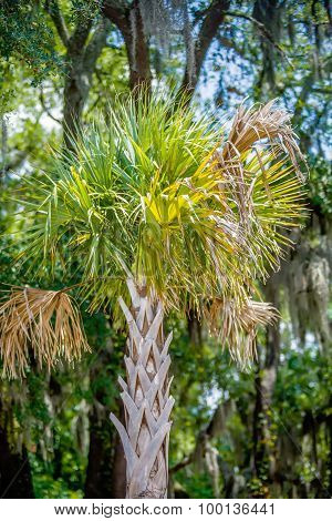 Palmetto Tree Set Against A Carolina Blue Sky.