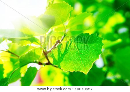 Maple Leafes In Summer Sun