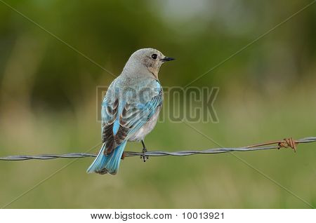 Solitary Female Mountain Bluebird Perched On Barbed Wire