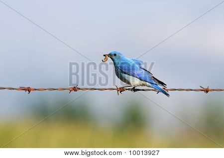 Solitary Male Mountain Bluebird With Grub