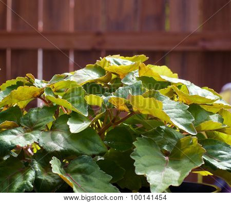 Patchouli Plant In Front Of Wooden Fence