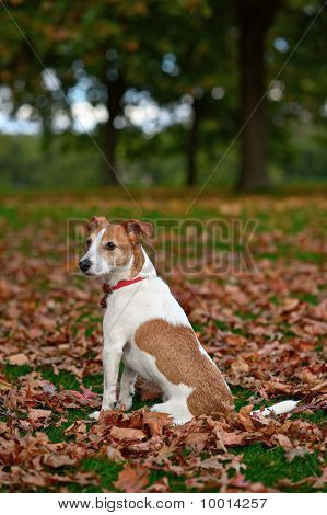 Parson Jack Russell Terrier Sitting In A Park Among Fallen Autumn Leaves