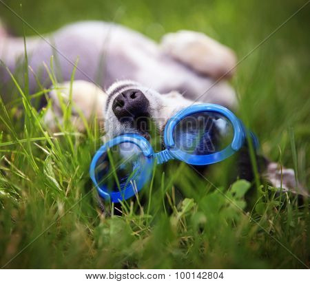 a cute chihuahua wearing goggles and rolling in the grass outside during summer time
