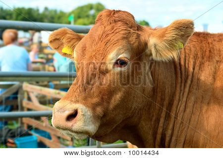 Portrait of a brown cow at an agricultural show on a sunny afternoon poster