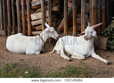 Two white domestic goats. Shooting outdoors. Rustic theme.