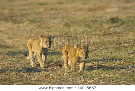 Two Young Lions.