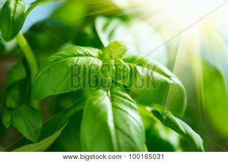 Fresh Leaves of Basil close up. Fresh flavoring growing outdoor. Green basil leaves in sunlight. Fresh Condiment concept. Food ingredients