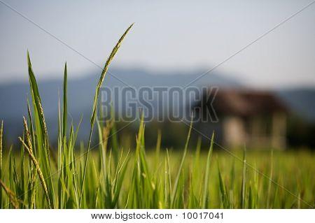 Rice in the Sun