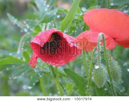Poppy in Dew