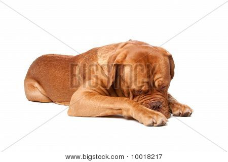 Dogue De Bordeaux (french Mastiff)