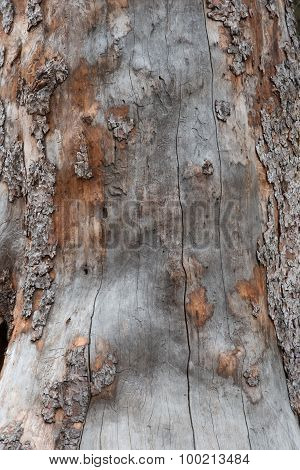 Dead Lodgepole Pine Bark And Wood