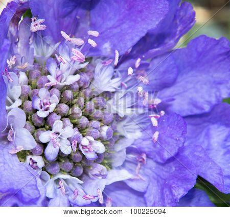 Scabiosa Bloom