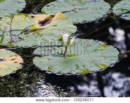 Nymphaea alba also known as the European White Waterlily White Lotus White Water Rose or Nenuphar bud macro selective focus poster