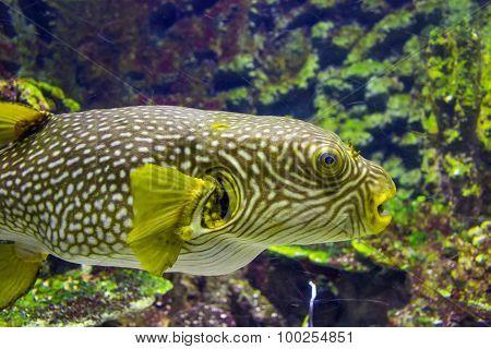 Pufferfish Close Up View In An Aquarium