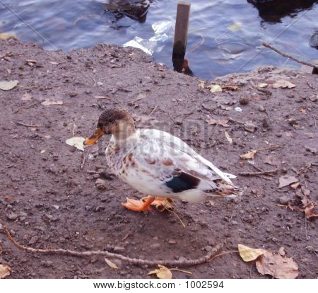 a single duck standing by the riverside during autumn. poster