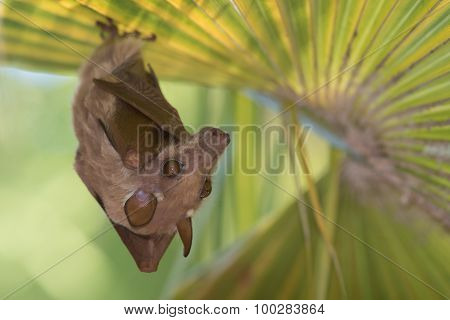 Peter's Dwarf Epauletted Fruit Bat (micropteropus Pusillus) Hanging Beneath A Palm Leaf
